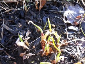 One of these days, I will draw up a map of my flower garden. In the meantime, look what is popping up! Spring is coming!