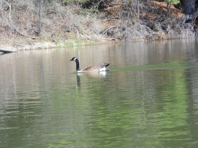The Canada geese have returned!
