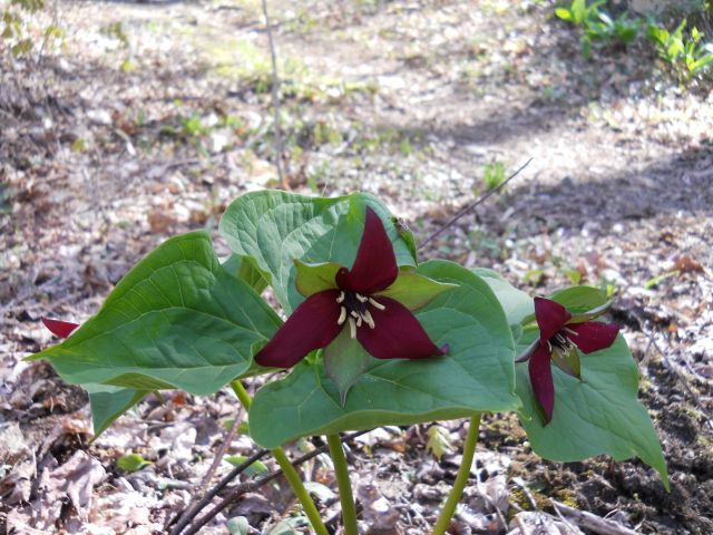 A blood-red trillium along the trail of Mount Abe.