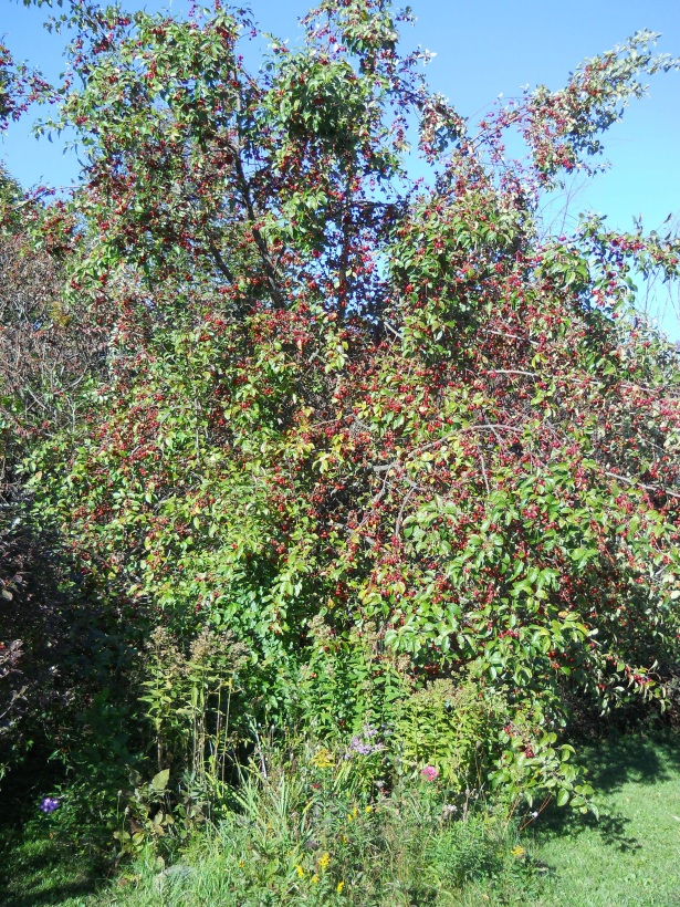 You probably wouldn't recognize the crabapple tree this time of year. The bows are heavy with the tiny apples.
