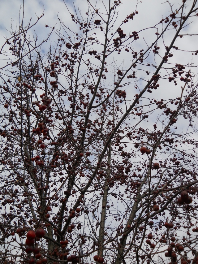Winter is here; the remaining fruit on the crabapple tree.
