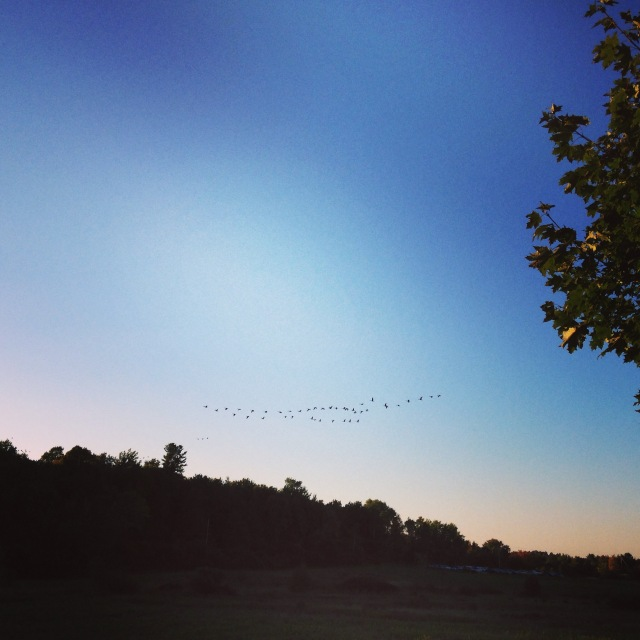 I've been seeing and hearing lots of Canada Geese heading south these days.
