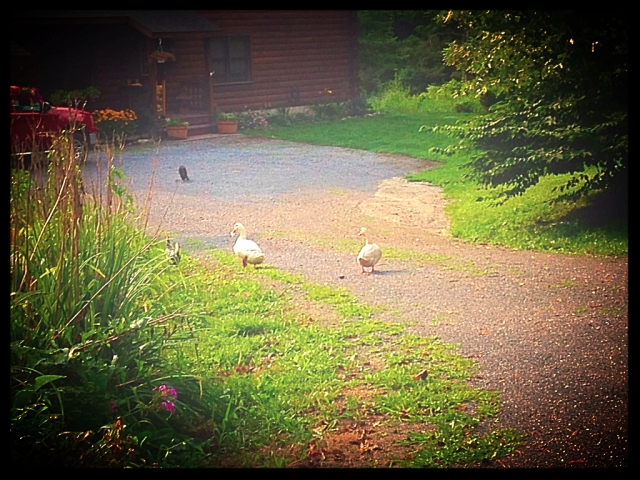 I love my early morning summer walks. I run into geese, chickens, and Dexter the Cat!