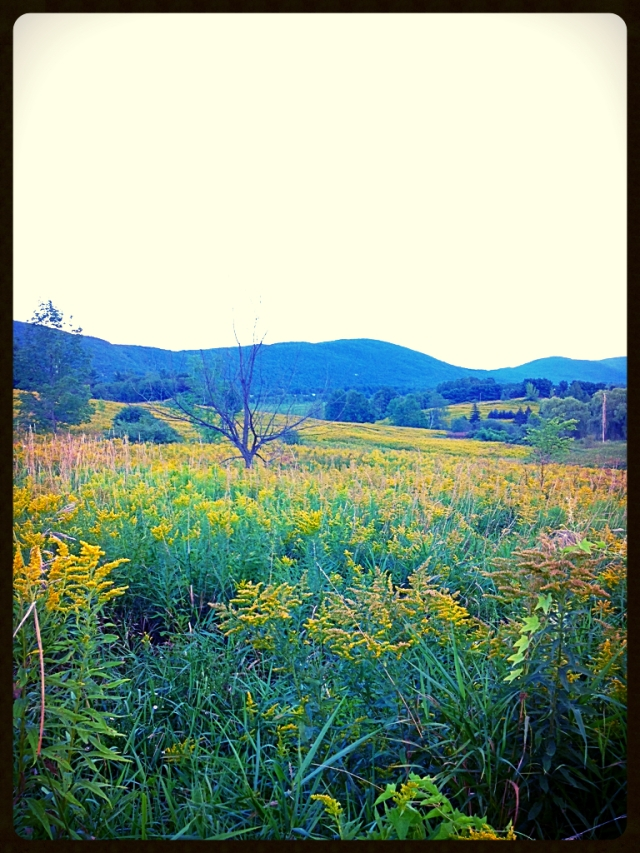 This time of year, the front meadow is a sea of goldenrod.