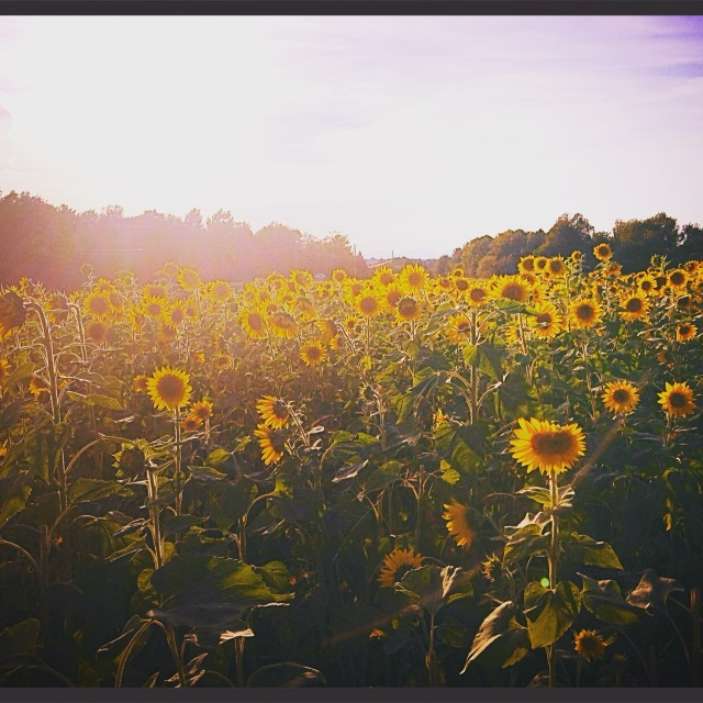 This gorgeous sunflower field is on my commute!