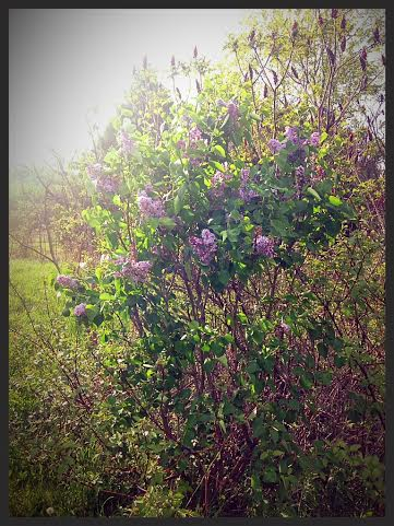 Speaking of a fleeting season, I wait all year for my lilac bushes to bloom! The peonys will be next!
