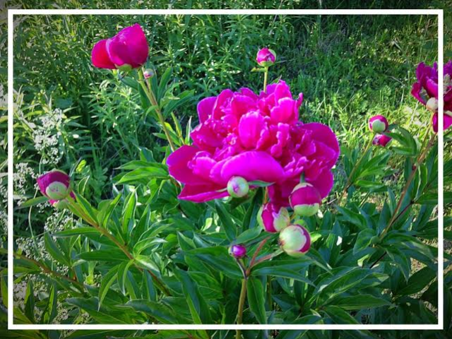 The peonies in the garden are in bloom!